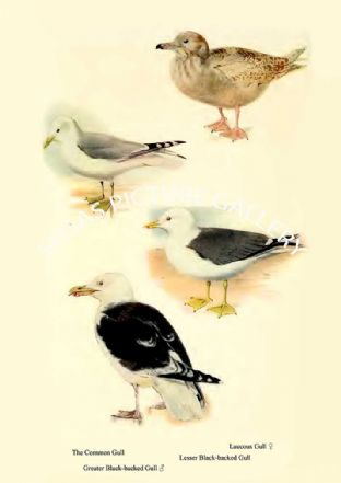 Common Gull, Greater Black-backed Gull, Glaucous Gull & Lesser Black-backed Gull